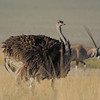 Ostrich (Struthio camelus) and Gemsbok