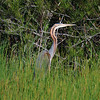 Purple Heron (Ardea purpurea) Coto Donana, Spain