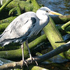 Gray Heron (Ardea cinerea)  Amsterdam,  the Netherlands.