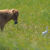 Cattle Egret (Bubulcus ibis) and pony, The Camargue, Provence, France