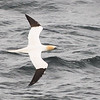 Northern Gannet, (Sula bassanus) from the ferry on the way to the Island of Arran, Scotland