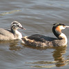 Great-crested Grebe (Podiceps cristatus) with chick,  Amsterdam,  the Netherlands.