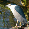 Black-crowned Night-Heron (Nycticorax nycticorax) Amsterdam, the Netherlands.