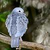 Eared Dove (Zenaida auriculata) Mount Hartman Dove Sanctuary