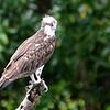 Osprey (Pandion haliaetus) Mount Hartman Dove Sanctuary