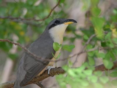 Birds of Grenada