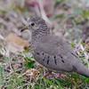 Common Ground Dove (Columbina passerina) Marriott Beach Resort, Grand Anse Beach