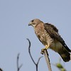 Broad-winged Hawk (Buteo platypterus) Marriott Beach Resort, Grand Anse Beach