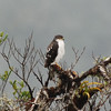 White-breasted Hawk (Accipiter chionogaster)