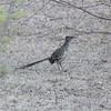 Lesser Roadrunner (Geococcyx velox)