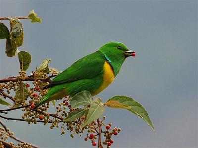 Birds of Guatemala