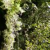 Horned Guan (Oreophasis derbianus)