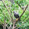 Gray Hawk (Asturina nitida)