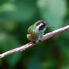 White-eared Hummingbird (Basilinna leucotis)
