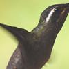 Amethyst-throated Hummingbird (Lampornis amethystinus)