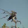White-tailed Hawk (Buteo albicaudatus)
