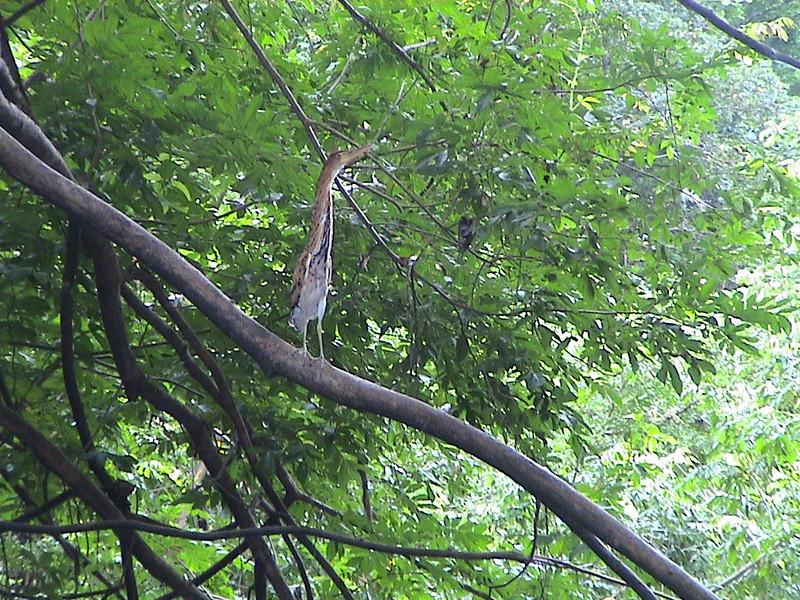Rufescent Tiger-Heron (Tigrisoma lineatum)