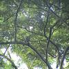Gray Hawk (Buteo nitidus)