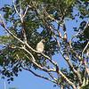 Roadside Hawk (Buteo magnirotris)