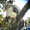 Harpy Eagle (Harpia harpyia)