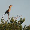 Neotropical Cormorant (Phalacrocorax brasilianus) San Lorenzo