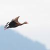 Back-bellied Whistling Duck (Dendrocygna autumnalis) Lago Yajoa