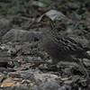 Singing Quail (Dactylortyx thoracicus) La Tigra NP, Honduras