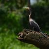 Neotropic Cormorant (Phalacrocorax brasilianus) Las Marias, Rio Platano Reserve, Gracias a Dios