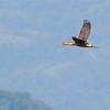 Fulvous Whistling Duck (Dendrocygna bicolor) Lago Yajoa