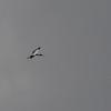 Wood Stork (Mycteria americana) Rio Platano