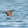 Neotropical Cormorant (Phalacrocorax brasilianus) Lago Yajoa
