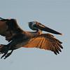 Brown Pelican (Pelecanus occidentalis) San Lorenzo