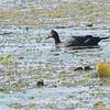 Muscovy Duck (Cairina moschata) Lago Yajoa