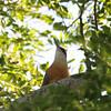 Jamaican Lizard Cuckoo (Saurothera vetula) Green Castle Estate, Saint Mary Parish Jamaica