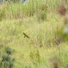 Red-tailed Hawk (Buteo jamaicensis) Forres Park, Saint Andrew Parish, Jamaica