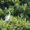 Great Egret (Ardea alba) in lagoon along highway near Montego Bay, Jamaica