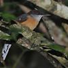 Jamaican Lizard Cuckoo (Saurothera vetula) Hardwar Gap, Saint Andrew Parish Jamaica