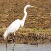 Great Egret (Ardea alba), Kyushu