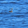 Arctic Loon (Gavia arctica) Hokkaido