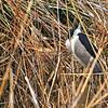 Black-crowned Night-Heron (Nycticorax nycticorax), Kyushu