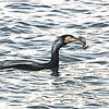 Great Cormorant (Phalacrocorax carbo), Kyushu