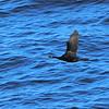 Pelagic Cormorant (Phalacrocorax pelagicus), Hokkaido