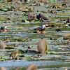African Pygmy-Goose (Nettapus auritus) Majunga