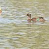 Meller's Duck (Anas melleri) Lac d'Alarobia, Antananarivo