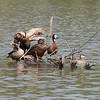 Meller's Duck (Anas melleri), White-faced Whistling-Duck (Dendrocygna viduata) and Red-billed Teal  (Anas erythrorhyncha) Lac d'Alarobia, Antananarivo