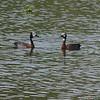 White-faced Whistling-Duck (Dendrocygna viduata) Lac d'Alarobia, Antananarivo