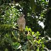 Broad-winged Hawk (Buteo platypterus) El Valle, Panama
