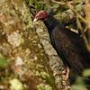 Turkey Vulture (Cathartes aura) El Valle, Panama