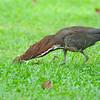 Rufescent Tiger-Heron (Tigrisoma lineatum) Gamboa Resort, Gamboa, Panama