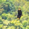 Black Vulture (Coragyps atratus) Volcan Baru